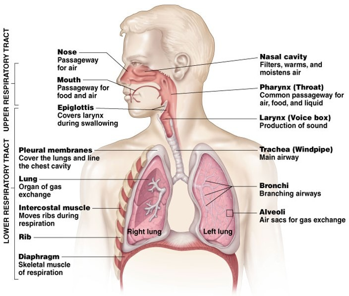anatomy of upper and lower respiratory tract